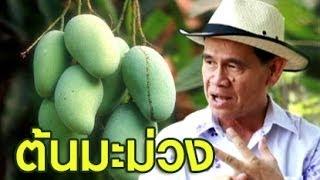 getlinkyoutube.com-เกษตร Society 21/4/57 : ปลูกต้นมะม่วงให้ถูกหลัก ออกผลให้ถูกใจ