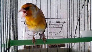 getlinkyoutube.com-هجين طائر الحسون الرائع (البندوق)