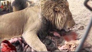 getlinkyoutube.com-Stay Away When Lion Get Hungry