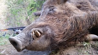 getlinkyoutube.com-War Pigs - California Public Land Bow Hunting For Wild Pigs