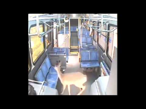 Surveillance: Deer crashes through windshield of Johnstown, PA CamTran bus & walks out front door