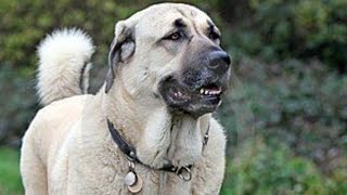 getlinkyoutube.com-The Only Dog in The World That Can Kill a Wolf - KANGAL
