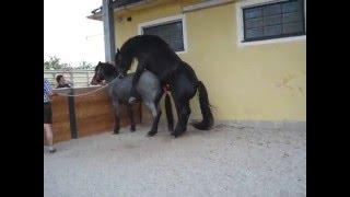 Pferd decken: Noriker Stute