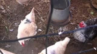 getlinkyoutube.com-How we Predator-proof our chicken and duck coops