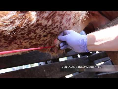 INTA - Técnicas de muestreo para el diagnóstico de enfermedades venéreas en bovinos
