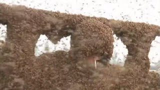 A million+ bees cling to world record breaker