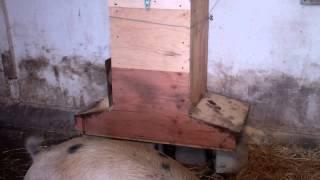 getlinkyoutube.com-Homemade Pig Feeder