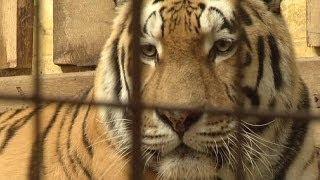 getlinkyoutube.com-Tiger zerfleischt Tierpfleger