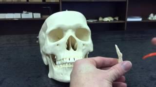 Skull vomer bone