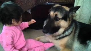 getlinkyoutube.com-German Shepherd And Baby Playtime