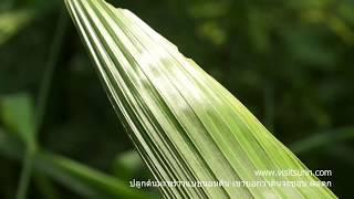 getlinkyoutube.com-ปลูกกล้ามะพร้าวนอนต้นให้ผลดก