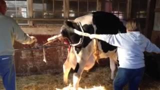 getlinkyoutube.com-Preschoolers watch cow give birth.
