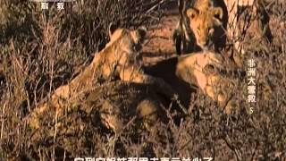 getlinkyoutube.com-كيفية تخدير اللبؤة...How to numb the lioness
