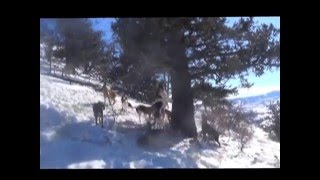 getlinkyoutube.com-Colorado Bobcat hunting with hounds #4 2016
