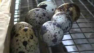 getlinkyoutube.com-Quail farming in the house