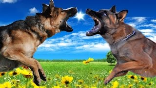getlinkyoutube.com-German Shepherd vs Belgian Malinois Highlights
