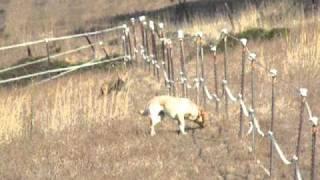 getlinkyoutube.com-Dog vs. Coyote