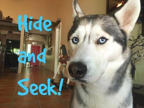 Hide and Seek With my Husky!