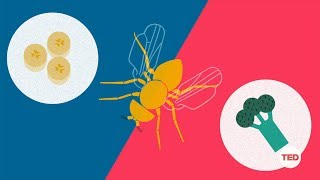 How you can make a fruit fly eat veggies | DIY Neuroscience, a TED series width=