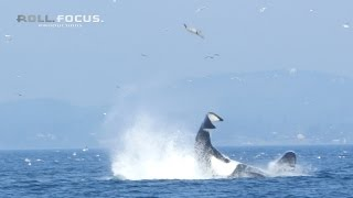 Watch: Whale launches harbor seal some 80 feet into the air