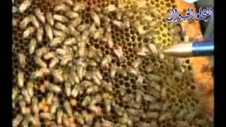 getlinkyoutube.com-فيديو عن ملكة النحل   الشيخ فايز القثامي
