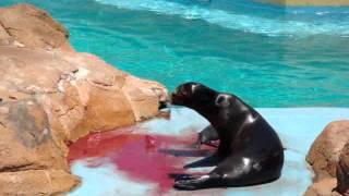 getlinkyoutube.com-Sea Lion giving birth.