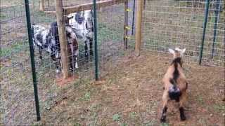 getlinkyoutube.com-Building a Goat Pen -16' x 32'