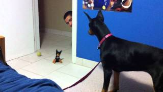 getlinkyoutube.com-funny scared doberman