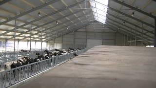 getlinkyoutube.com-De koeien van Firma de Koningspleij verhuizen naar hun nieuwe onderkomen (Arnhem)