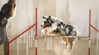 getlinkyoutube.com-Agility training-australian shepherd Charlie