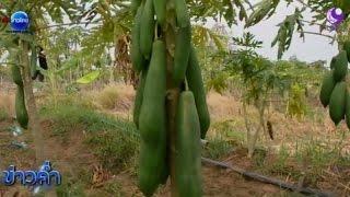 getlinkyoutube.com-เกษตรทำเงิน : มะละกอแขกนวล ตลาดอีสานต้องการสูง
