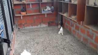 getlinkyoutube.com-fancy pigeons
