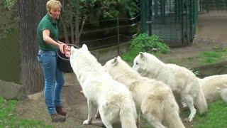 getlinkyoutube.com-Zoo Berlin- Wolves Feeding Wolf Fütterung - White Arctic Pack of Wolves - Great Scene