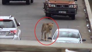 Lion Causes Traffic Jam on Bridge