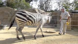getlinkyoutube.com-Zebra Training ~ San Diego Zoo