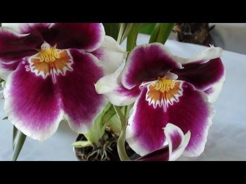 Feira da orquídeas, Campo Grande, Mato Grosso do Sul,