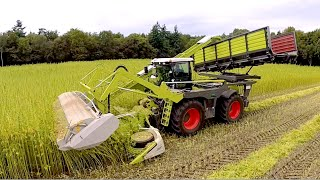 getlinkyoutube.com-Harvesting fiber hemp | Claas Xerion 4000 | Vezelhennep oogst | DunAgro