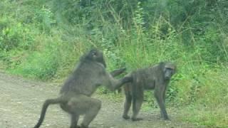 getlinkyoutube.com-Making Monkeys - Hluhluwe Game Reserve, South Africa