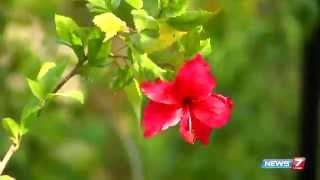 Sembaruthi flower (hibiscus rosa-sinensis) - Adds Beauty to your terrace garden! | Poovali | News7