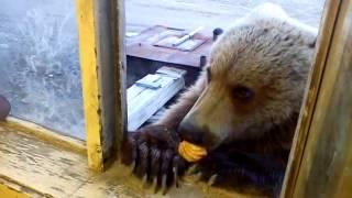 getlinkyoutube.com-вот такие добрые русские медведи на колыме