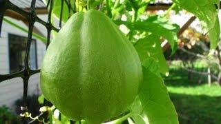 getlinkyoutube.com-Growing Chayote (Choko) Vines - Flowers & Fruit
