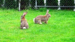 getlinkyoutube.com-80 пород кроликов
