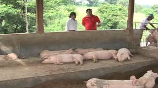 Babuyang Walang Amoy/Profitable Innovative Growing System/Natural Hog Raising in Tagaytay Part 2
