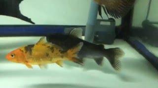 Gulper Catfish Asterophysus Batrachus Attack
