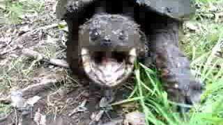 AGGRESSIVE snapping turtle!!!! Don't blink at 1:00!