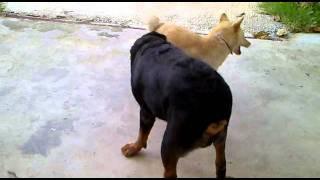getlinkyoutube.com-หมาไทย VS ร็อตไวเลอร์