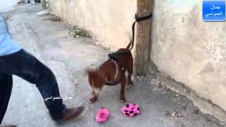 getlinkyoutube.com-الكلب البتبول اذا عض شخص ما ماذا تفعل ليتركه مع جمال العمواسي