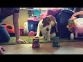 Teaching Beagle Dog How to Play Shell Game with Cups