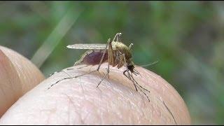 getlinkyoutube.com-Технология укуса комара в высоком качестве