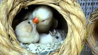 getlinkyoutube.com-طائر الزبيرا فنيش وهو يطعم صغاره . الفنجس
